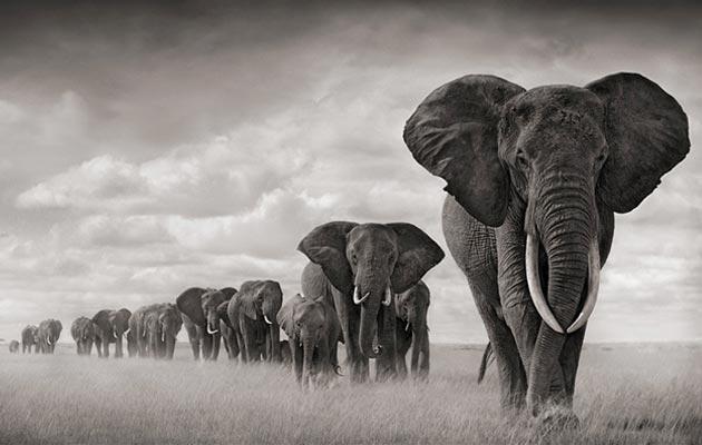 Odrasli slon svaki dan u prosjeku pojede od 100 do 300 kg hrane i popije do 160 litara vode.