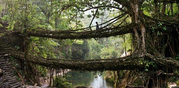 mostovi-od-korijenja