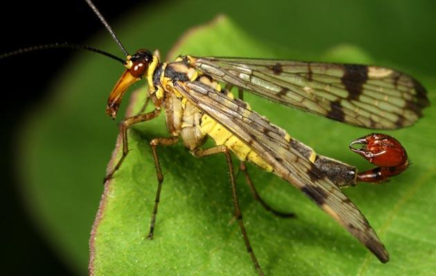 muha-skorpija