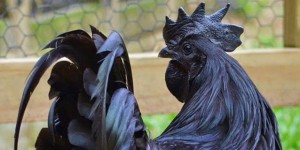 Ayam-Cemani