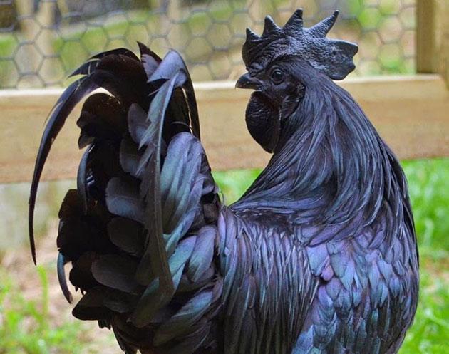 Ayam-Cemani-8
