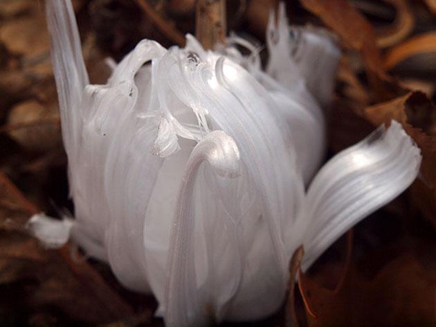 Zamrznuto-cvijece-1