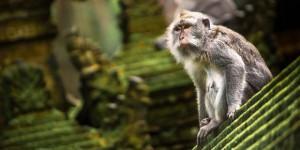 suma-majmuna