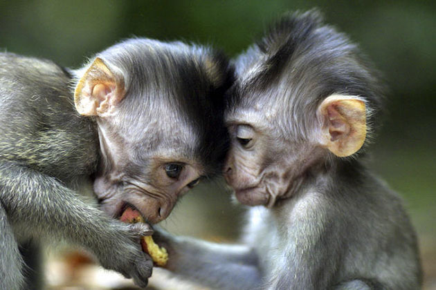 suma-majmuna-5