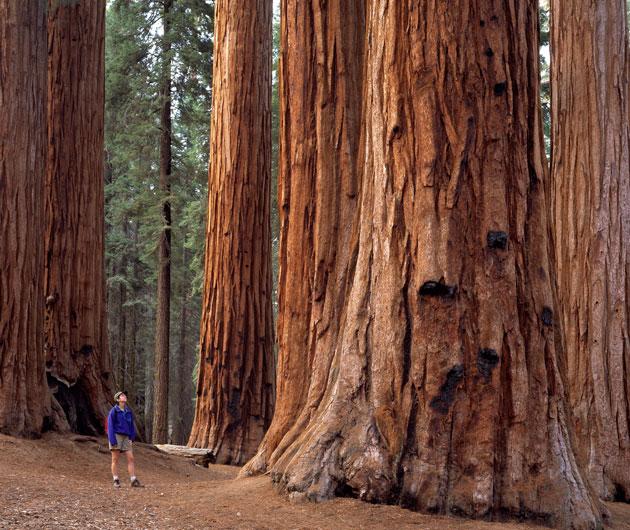 Sequoia-11