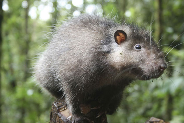 Neustrašivi Bosavi štakor / Jonny Keeling/BBC