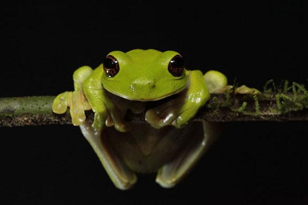 Ugrožena vrsta Litoria sauroni / Ulla Lohmann/BBC