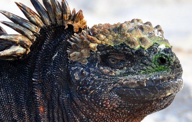 Morska-iguana-1