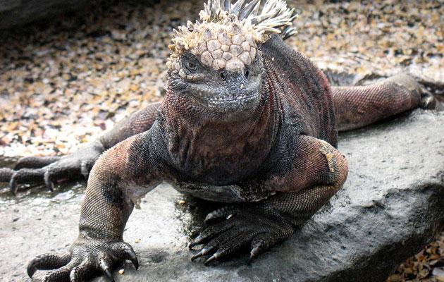 Morska-iguana-3