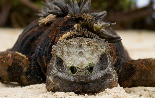Morska-iguana-4