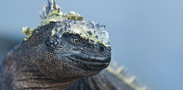 Morska-iguana