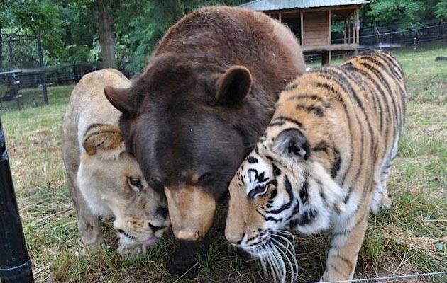 Lav Leo, tigar Shere Khan i medvjed Baloo su pronađeni zajedno kao mladunčad u jednom domu tokom policijske racije u Atlanti. Od tada su postali nerazdvojni prijatelji. Svaki dan se zajedno igraju, jedu i spavaju.