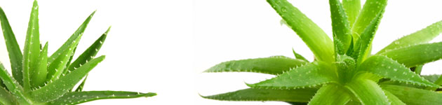 Aloe-vera-1