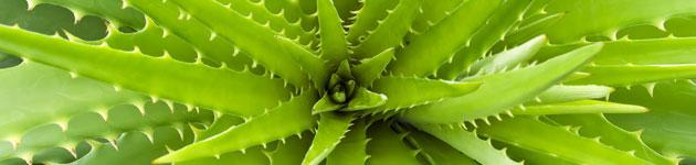 Aloe-vera-3