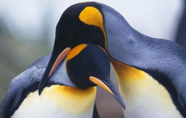 Različite vrste pingvina privlače partnera na različite načine. Kraljevski pingvini pjevaju duge pjesme sa svojim partnerima. Mužijaci Papuanskih pingvina poklanjaju svojim partnerima darove koji se uglavnom sastoje od šljunka ili kamenja. Za pingvine, jaka 'ljubavna' veza je izuzetno važna za podizanje mladih.