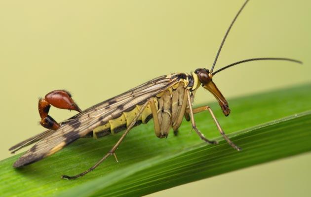 muha-skorpija-1