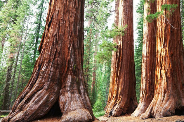 Sequoia-5